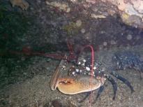 le-homard-de-belharra